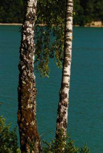 Le Bouleau pubescent (Betula pubescens)<br> Lac de Vouglan au pont de la Pyle<br> Parc régional du haut Jura