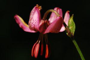 Lys martagon (Lilium martagon)<br> Forêt du Massacre<br> Parc régional du haut Jura