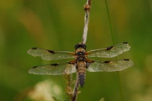 Libellule à quatre taches (libellula quadrimaculata)<br> Lac de Lamoura<br> Parc régional du haut Jura