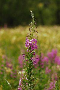 L'Épilobe en épi (Chamerion angustifolium)<br> Lac de Lamoura<br> Parc régional du haut Jura