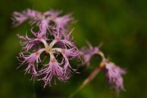 Œillet superbe (Dianthus superbus)<br> Lac de Lamoura<br> Parc régional du haut Jura