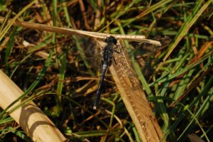 Libellule rare du genre Leucorrhine à front blanc mâle (Leucorrhinia albifrons)<br> Lac de Lamoura<br> Parc régional du haut Jura