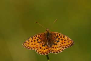 Papillon<br> Lac de Lamoura<br> Parc régional du haut Jura