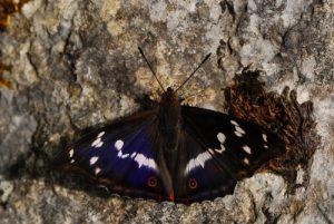 Le Grand Mars changeant  (Apatura iris)<br> Les Lacs d'Etival<br> Parc régional du haut Jura