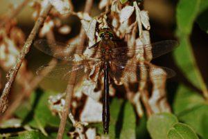 La Cordulie bronzée mâle (Cordulia aenea)<br> Les Lacs d'Etival<br> Parc régional du haut Jura