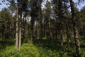 Le Pin à crochets (Pinus uncinata)<br> La Tourbière de Prénovel<br> Parc régional du haut Jura
