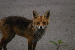 Le Renard roux (Vulpes vulpes)<br> Parc Régional du Haut-Jura