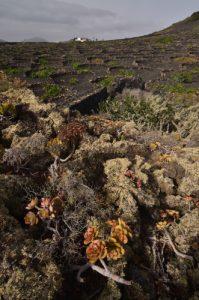 Culture de vigne & volcan Testeyna. Île de Lanzarote (Islas Canarias).