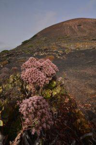 Aeonium (Aeonium urbicum) & volcan Testeyna. Île de Lanzarote (Islas Canarias).