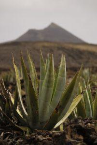 Agave américain (Agave americana) au milieu des paysages volcaniques. Parque Nacional de Timanfaya. Île de Lanzarote (Islas Canarias).