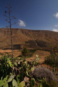 Vallée de Tabayesco & Agave américain (Agave americana). Île de Lanzarote (Islas Canarias).