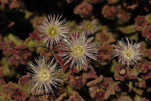 La ficoïde glaciale (Mesembryanthemum crystallinum) est une plante de la famille des Aizoacées, originaire sud-est africain. Île de Lanzarote (Islas Canarias)