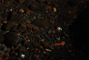 Petit crabe (Munidopsis polyphorma) devenu aveugle et avec une carapace sans pigmentation brillante à la lumière. Tunnel de lave Jameos del Agua aménagé par Manrique. Île de Lanzarote (Islas Canarias).