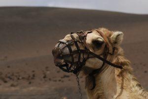 Le dromadaire ou chameau d'Arabie (Camelus dromedarius) à Echaderos de los Camellos.<br> Monumento Natural de las Montanas del Fuego.<br> Île de Lanzarote (Islas Canarias).