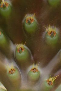 Cactus. Île de Lanzarote (Islas Canarias).