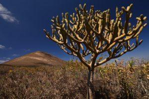 Montana Guardilama avec une Euphorbe au premier plan. La Géria. Île de Lanzarote (Islas Canarias).