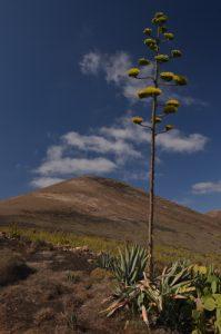 Montana Guardilama avec Agave américain (Agave americana) au premier plan. La Géria. Île de Lanzarote (Islas Canarias).