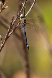 Libellule Anax empereur (Anax imperator)<br> [Clés de détermination : yeux verts à bleus, pentagone noir sur le front, bleu en avant des ailes, coté du torax uniformément vert]<br> Pico Bejenado<br> Île de La Palma (Canarias)