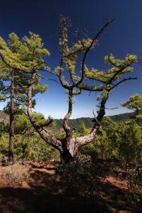 Pin des Canaries (Pinus canariensis) en montant au Pico Bejenado<br> Île de La Palma (Canarias)
