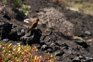 Paysages volcaniques entre le Volcan San-Antonio et le Volcan Teneguia<br> Los Canarios / Fuencaliente<br> Île de La Palma (Canarias)