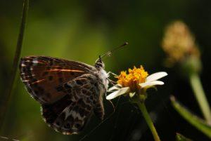 Papillon de la Caldera De Taburiente Île de La Palma (Canarias)