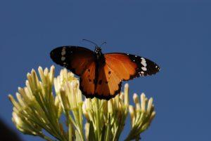 Le Petit Monarque (Danaus chrysippus)<br>Caldera De Taburiente<br> Île de La Palma (Canarias)