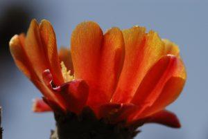 Flore de l'église San Mauro Abad : cactus Île de La Palma (Canarias)