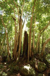 Forêt primaire de Cubo de la Galga Île de La Palma (Canarias)