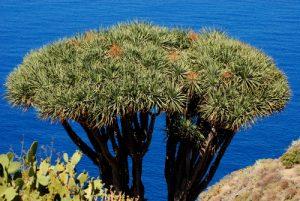 Le dragonnier des Canaries (Dracaena draco) dans le village de la côte ouest El Tablado Île de La Palma (Canarias)