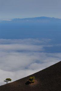 Pin des Canaries (Pinus canariensis) Du Volcan Cabrito au Volcan San Martin sur la route des volcans (Cumbre vieja) Île de La Palma (Canarias)