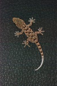 Gecko Île de La Palma (Canarias)