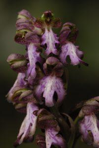 L'Orchis géant (Himantoglossum robertianum)<br> Le Colorado provençal de Rustrel<br> Parc Naturel Régional du Lubéron