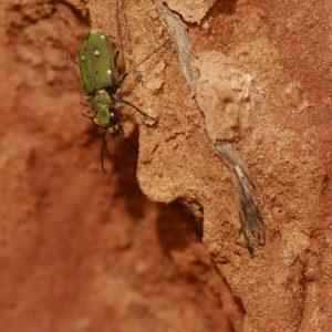 La Cicindèle champêtre (Cicindela campestris)<br> Le Colorado provençal de Rustrel<br> Parc Naturel Régional du Lubéron
