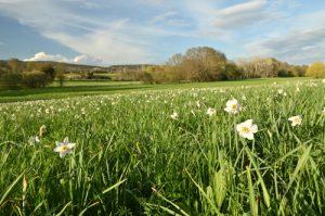 Le Narcisse des poètes (Narcissus poeticus)<br> Parc Naturel Régional du Lubéron