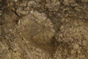 Site fossilifère à oursins<br> Sentier des Subarroques<br> Parc Naturel Régional du Lubéron