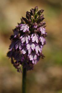 L'orchis pourpre (Orchis purpurea)<br> Sentier des Subarroques<br> Parc Naturel Régional du Lubéron