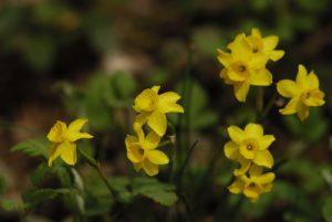 Le Narcisse d'Asso (Narcissus assoanus)<br> Le Massif des Cèdres<br> Parc Naturel Régional du Lubéron