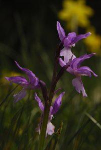L'Orchis d'Hyères (Orchis olbiensis)<br> Le Massif des Cèdres<br> Parc Naturel Régional du Lubéron
