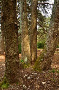 Le Massif des Cèdres<br> Parc Naturel Régional du Lubéron