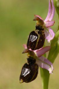 Ophrys de Bertolon (Ophrys bertolonii)<br> Les Gorges d'Oppedette<br> Parc Naturel Régional du Lubéron