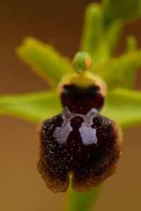 Ophrys araignée (Ophrys sphegodes)<br> Le Colorado provençal de Rustrel<br> Parc Naturel Régional du Lubéron