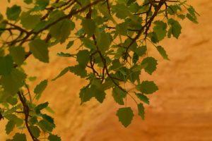 Le Peuplier tremble, Tremble ou Tremble d'Europe (Populus tremula)<br> Les mines d'ocre de Bruyère<br> Parc Naturel Régional du Lubéron