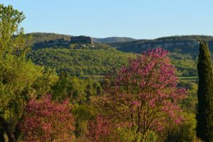 L'Arbre de Judée (Cercis siliquastrum)<br> Parc Naturel Régional du Lubéron