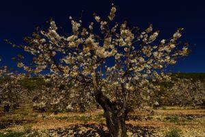 Cerisier en fleur (Prunus sp.)<br> Parc Naturel Régional du Luberon