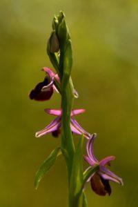Ophrys de Bertoloni (Ophrys bertolonii)<br> Les Gorges d'Oppedette<br> Parc Naturel Régional du Lubéron