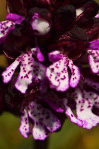L'Orchis pourpre (Orchis purpurea)<br> Les Gorges d'Oppedette<br> Parc Naturel Régional du Lubéron