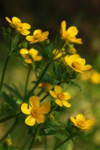 Renoncule (Ranunculus cortusifolius)<br> Levada Da Sera - Pinaculo -Bica Di Cana<br> Île de Madère