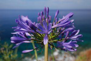 Agapanthe bleue (Agapanthus praecox)<br> Côte nord<br> Île de Madère
