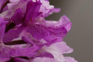 Orchidée du genre Orchis (Orchis scopulorum ?)<br> Du Pico do Areeiro à Pico do Ruivo<br> Île de Madère