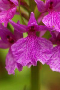 Orchidée du genre Orchis (Orchis scopulorum ?)<br> Île de Madère